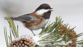 Chestnut-Backed Chickadee, Montana